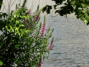 flowers at lake