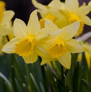 daffodils2008