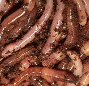 loads_of_worms